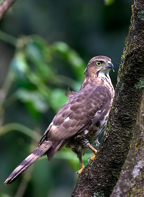 Crested Goshawk by Sudhir Shivaram - La Paz Group
