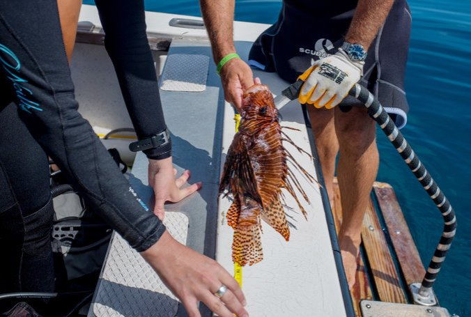 A lionfish caught near Homestead, Fla., by researchers for the Reef Environmental Education Foundation, which is trying to curb the species' proliferation. Credit Angel Valentin for The New York Times