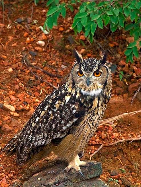 Eurasian Eagle Owl by Sudhir Shivaram - La Paz Group