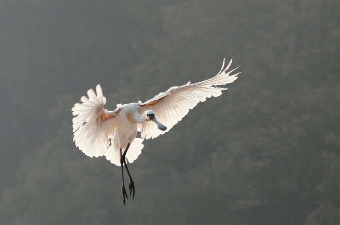 Eurasian Spoonbill landing by Anukash - La Paz Group