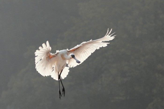 Eurasian Spoonbill landing by Anukash - La Paz Group