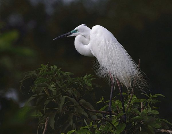Great Egret by Anukash - RAXA Collective