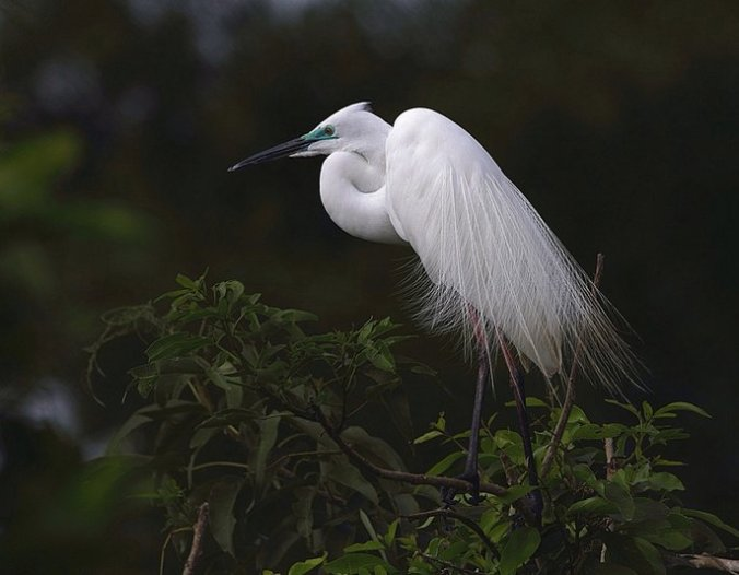 Great Egret by Anukash - La Paz Group