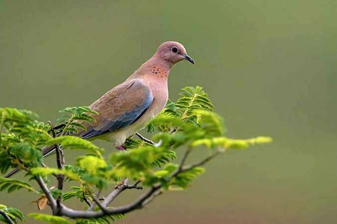 Laughing Dove by Sudhir Shivaram - La Paz Group