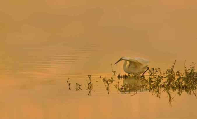 little egret by Brinda Suresh - RAXA Collective
