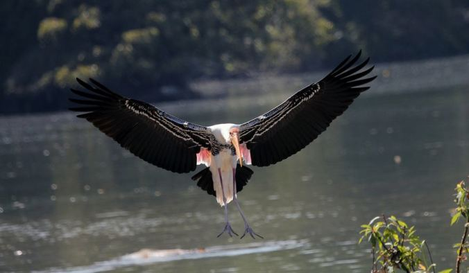 Painted Stork by Anukash - La Paz Group