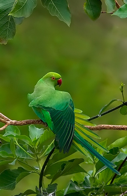 Rose Ringed Parakeet by Sudhir Shivaram - La Paz Group