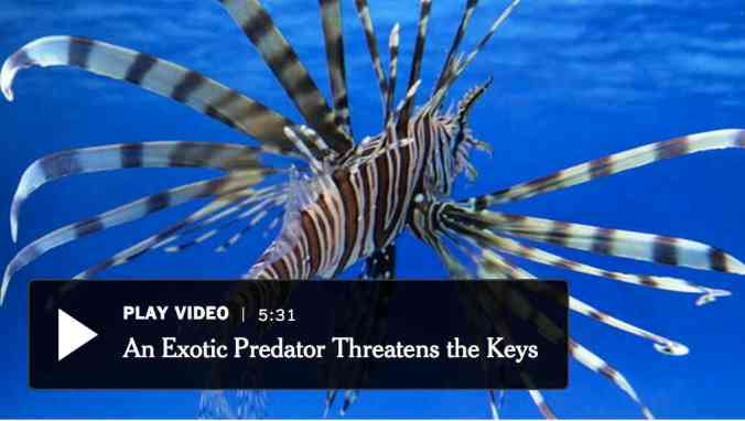 The lionfish, an invasive species, was beginning to change the balance of sea life in the waters of the Florida Keys in 2010, the first year of a now-annual tournament to catch as many as possible. Video Credit By Erik Olsen on Publish Date July 10, 2011.