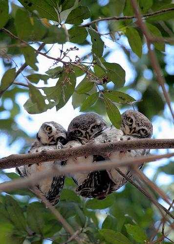 Spotted Owlets by Anukash - La Paz Group