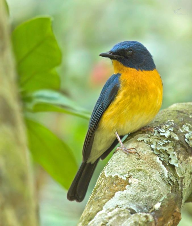 Tickell's Blue Flycatcher by Brinda Suresh - RAXA Collective