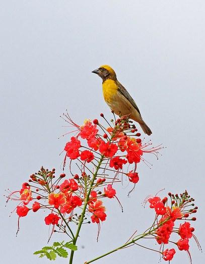 weaver bird - male by Anukash - La Paz Group