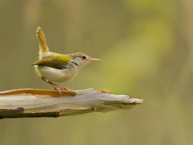 Common Tailorbird by Brinda Suresh - La Paz Group