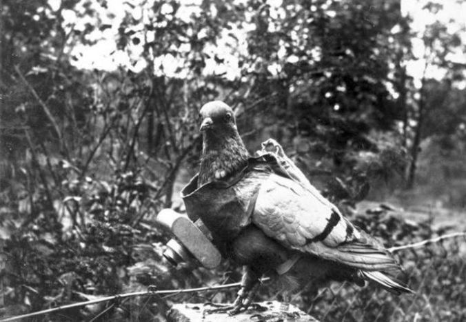 A pigeon with a small camera attached. Neubronner used the trained birds to capture aerial images before and during the war. PHOTOGRAPH COURTESY DEUTSCHES BUNDESARCHIV
