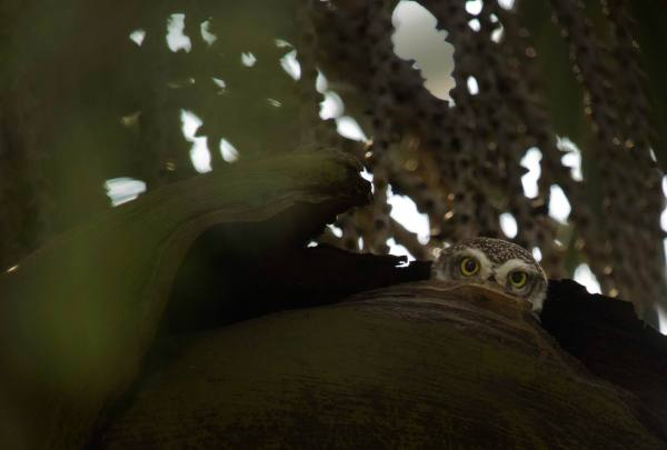 Spotted Owlet by Brinda Suresh - RAXA Collective