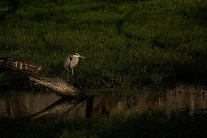 Grey heron by Brinda Suresh - La Paz Group