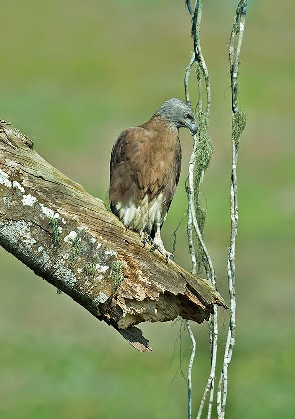 Grey-headed Fish Eagle by Dr. Eash Hoskote - La Paz Group