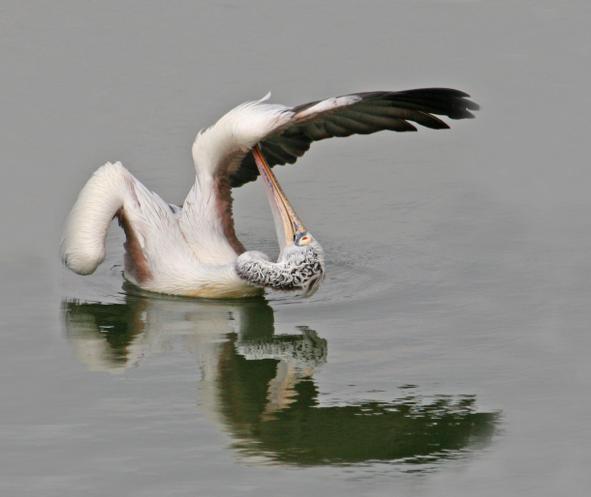 Spot-billed pelican by Brinda Suresh - RAXA Collective