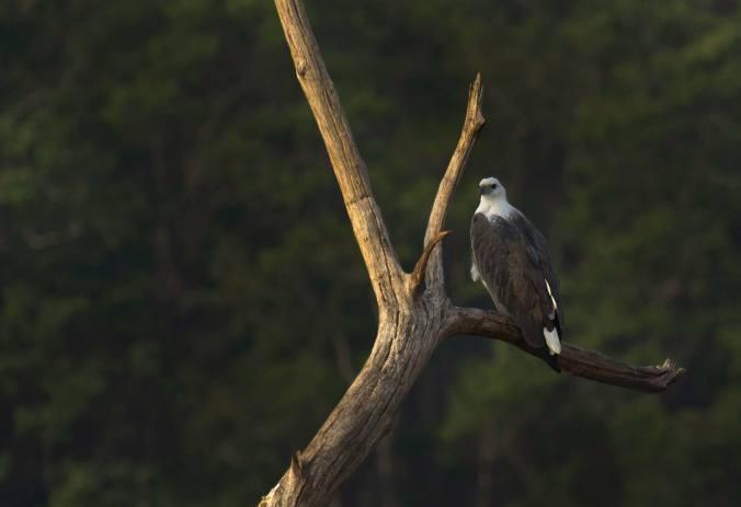 White-bellied Sea Eagle by Brinda Suresh - La Paz Group