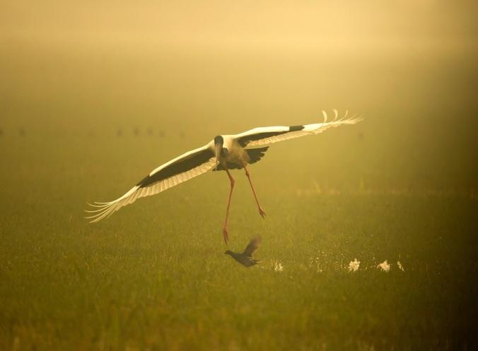 black-necked stork by Sudhir Shivaram - La Paz Group