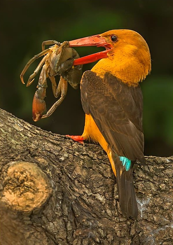 Brown-winged Kingfisher by Dr. Eash Hoskote - RAXA Collective