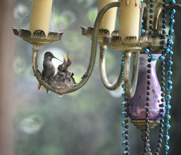 Hummingbirds nesting in a patio chandelier. Photo by Lydia D'moch for the CUBs Funky Nests in Funky Places 2014 competition.