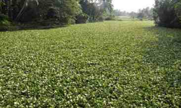 Water hyacinths choke the Poorna river at Tripunithura. Photo: Vipin Chandran; The Hindu