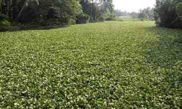 Water hyacinths choke the Poorna river at Tripunithura. Photo: Vipin Chandran; The Hindu