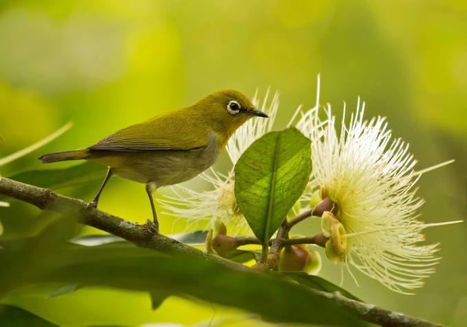 Oriental White-eye by Brinda Suresh - La Paz Group