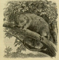 On the eighth Day of Taxonomy My true love sent to me An ornate cuscus in a tree!