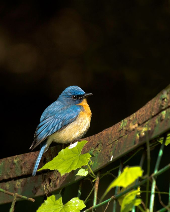 Tickell's Blue Flycatcher by Brinda Suresh -La Paz Group
