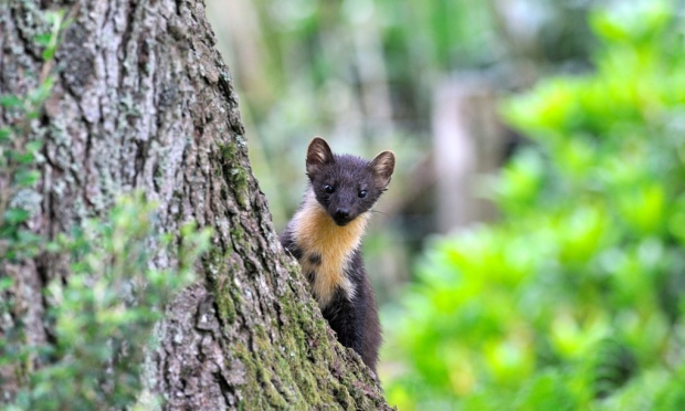 The Pine Marten, once common in the UK, is a natural predator of the grey squirrel and has successfully reduced their numbers in Ireland. Photograph: Alamy