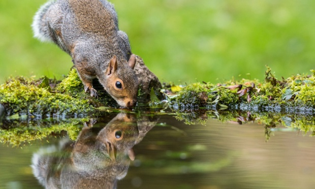Grey Squirrel (Sciurus carolinensis) sat at edge of a mossy pond drinking with mirror reflection Photograph: Drew Buckley/Alamy