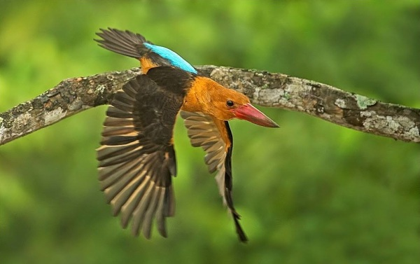boat-billed kingfisher by Dr. Eash Hoskote - RAXA Collective