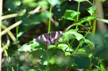 Mormon Swallow Tail Butterfly
