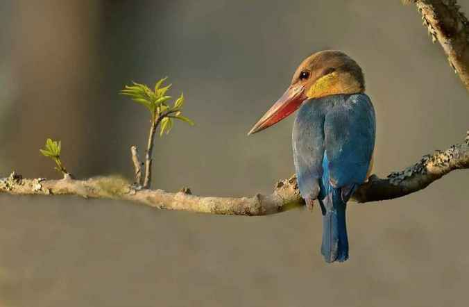 Stork-billed Kingfisher by Dr. Eash Hoskote - La Paz Group