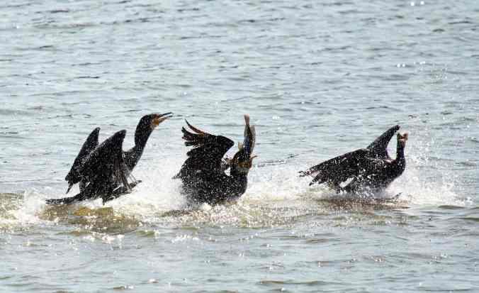 great cormorant by Brinda Suresh - La Paz Group