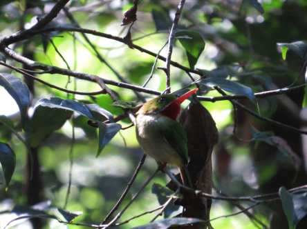 Jamaican Tody by Seth Inman - RAXA Collective