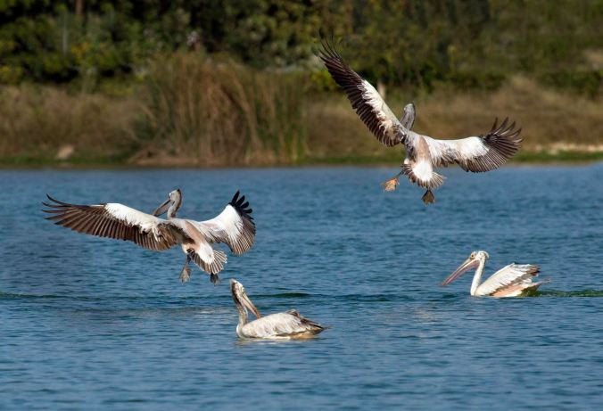 Spot-billed pelicans by Brinda Suresh - La Paz Group