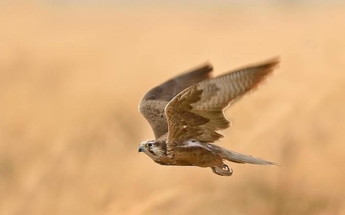Laggar Falcon by Dr. Eash Hoskote - La Paz Group