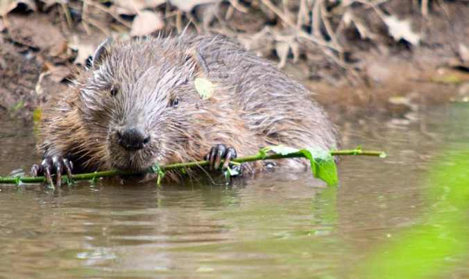 'Beavers create habitats and opportunities for just about everything else.' Photograph: Ben Lee