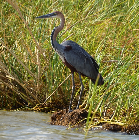 Goliath Heron by Andrew Murphy - La Paz Group