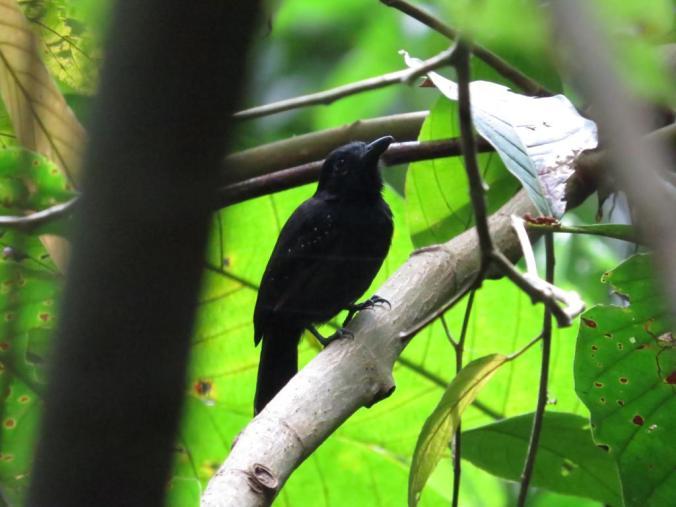 Black-hooded Antshrike by Seth Inman - La Paz Group