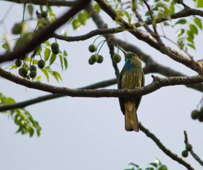 Blue-bearded Bee-eater by Brinda Suresh - La Paz Group