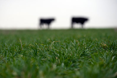 Brandon Thibodeaux for The New York Times. Cattle graze on farmland owned by Terry McAlister, near Electra, Tex. Mr. McAlister converted to no-till farming for its apparent economic benefits.