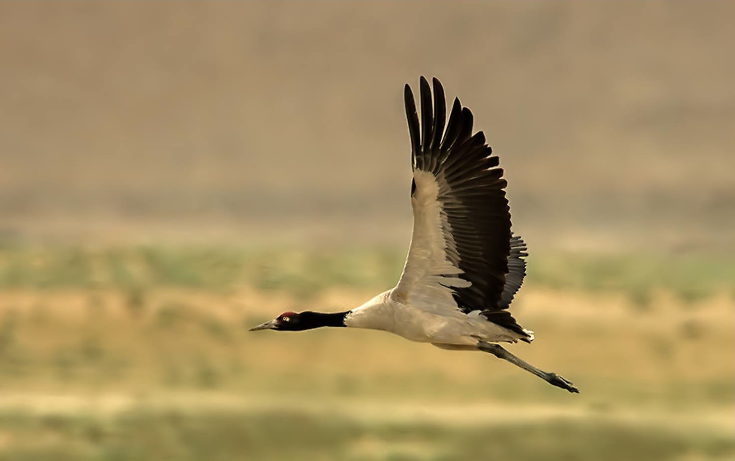 Bird Of The Day Black Necked Crane La Paz Group