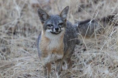 foxes2-sfSpan