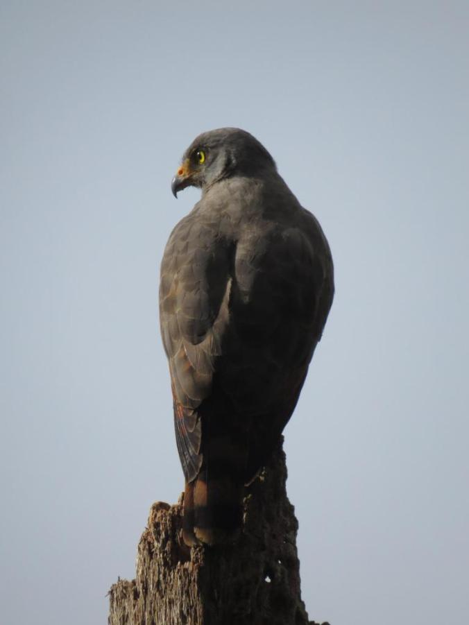 Roadside Hawk by Seth Inman - La Paz Group