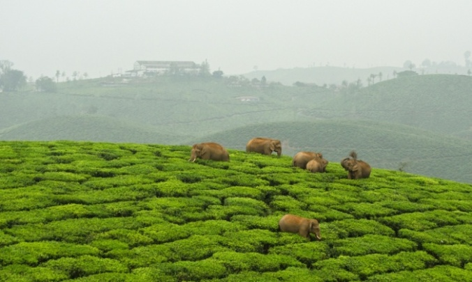 Elephants have to negotiate a vast expanse of tea estates to reach distant rainforest fragments in the Western Ghats of India. Photograph: Ganesh Raghunathan/Whitley award