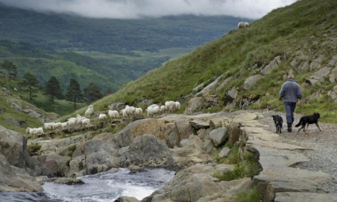 The National Trust is looking for a second shepherd to look after 1,600 mountain sheep in the hills and valleys around Hafod-y-Llan farm. Photograph: Joe Cornish