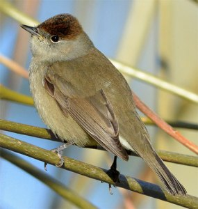 The Blackcap (Sylvia atricapilla) is a commonly hunted species in the Mediterranean. This female safely returned to her northern breeding grounds in England. Photo by jefflack Wildlife & Nature via Birdshare.